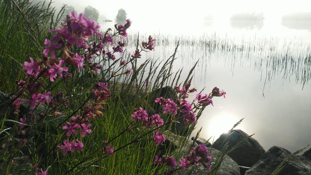 Sumuinen järven ranta kesäaamuna
